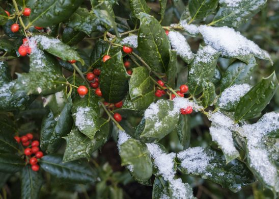 Free stock photo Close-up of snow on holly branches
